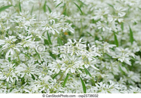 White Flowers Background Euphorbia Leucocephala Lotsy White