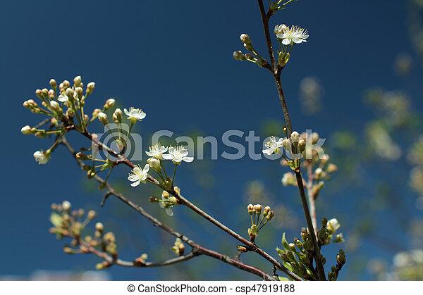 White flowers blossom cherry tree - csp47919188