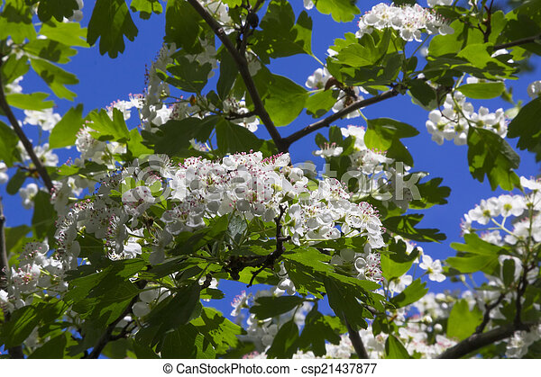 White flowers in a big bush picture search photo clipart csp21437877 white flowers in a big bush csp21437877 mightylinksfo