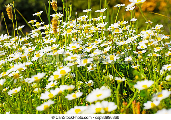 White flowers in a green field in sardinia italy white flowers in a green field csp38996368 mightylinksfo