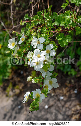 White flowers in the bush large white flowers in the spring white flowers in the bush csp36626692 mightylinksfo