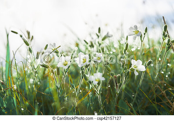 White flowers in the grass with dew early morning fresh white herbs white flowers in the grass with dew early morning csp42157127 mightylinksfo