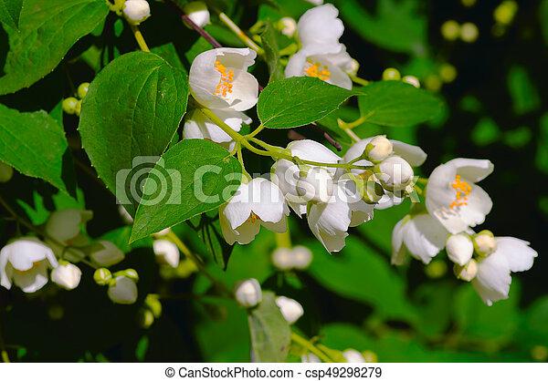 White flowers jasmine jasmine jasm num is a genus of evergreen white flowers jasmine csp49298279 mightylinksfo