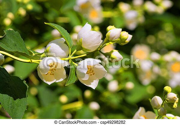 White flowers jasmine jasmine jasm num is a genus of evergreen white flowers jasmine csp49298282 mightylinksfo