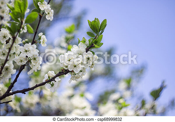 White flowers of apple tree against blue sky - csp68999832