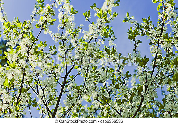 White flowers of apple trees against the blue sky - csp6356536