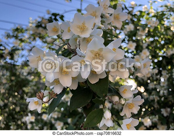 White flowers of blooming jasmine tree against the blue sky - csp70816632