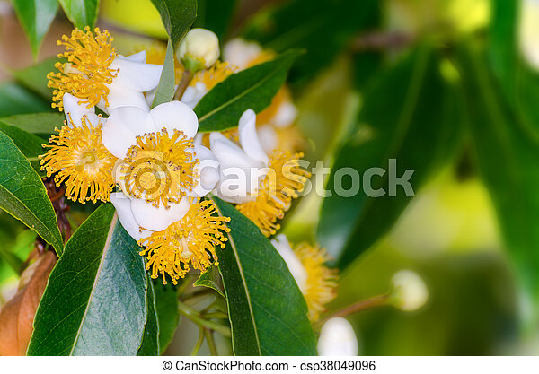 White flowers of calophyllum inophyllum group beautiful white white flowers of calophyllum inophyllum csp38049096 mightylinksfo