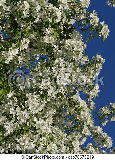 white flowers of cherry - csp70673219