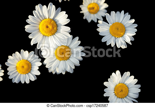 White flowers of daisies on a black background of the isolated white flowers of daisies on a black background csp17240587 mightylinksfo
