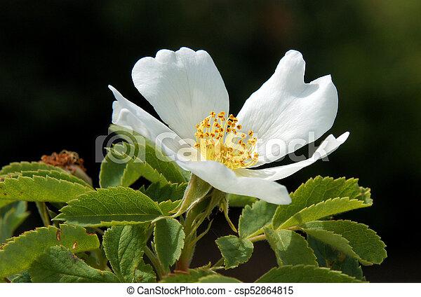 White flowers of dog rose rare kind of dog rose with white flowers white flowers of dog rose csp52864815 mightylinksfo