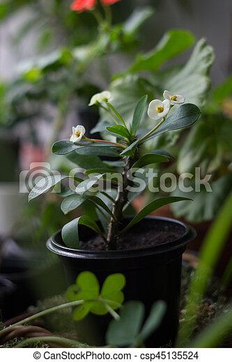 White Flowers Of Euphorbia Milii Popular Home Plant