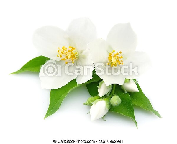 White flowers of jasmine - csp10992991