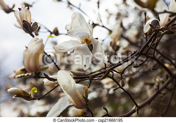 White flowers of the magnolia tree in early spring mightylinksfo