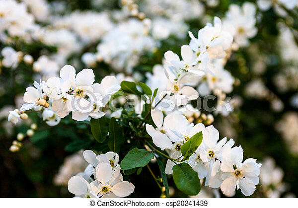 White flowers of the pear tree white flowers on the pear tree branches white flowers of the pear tree csp20241439 mightylinksfo