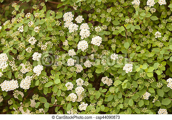 Bush with small white flowers on a branches note shallow depth of white flowers on a branches csp44090873 mightylinksfo