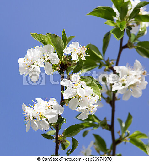 white flowers on a tree against the blue sky - csp36974370