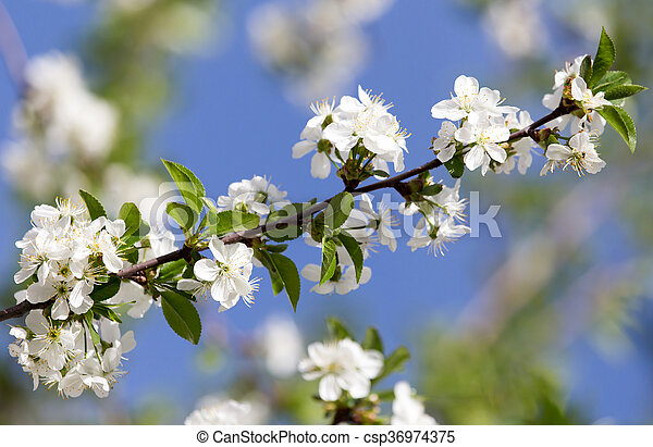 white flowers on a tree against the blue sky - csp36974375
