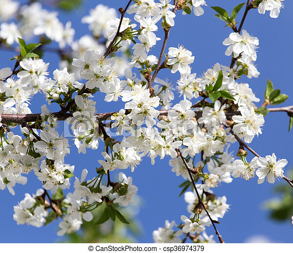 white flowers on a tree against the blue sky - csp36974379