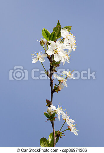 white flowers on a tree against the blue sky - csp36974386