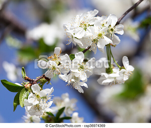 white flowers on a tree against the blue sky - csp36974369