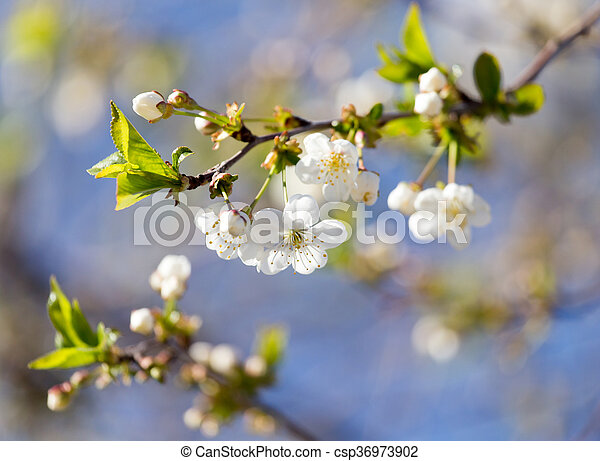white flowers on a tree against the blue sky - csp36973902
