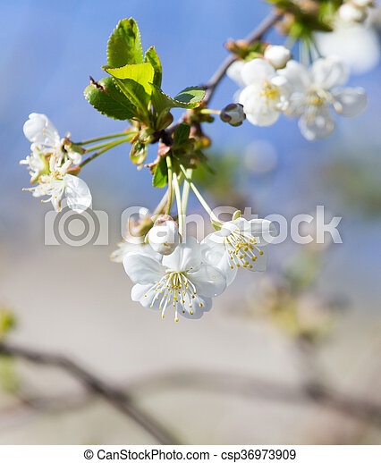 white flowers on a tree against the blue sky - csp36973909