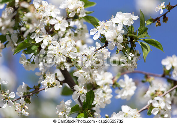 white flowers on a tree against the blue sky - csp28523732