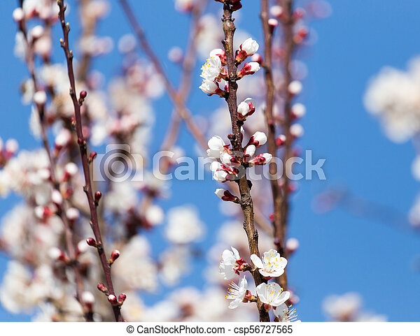 White flowers on a tree in spring - csp56727565