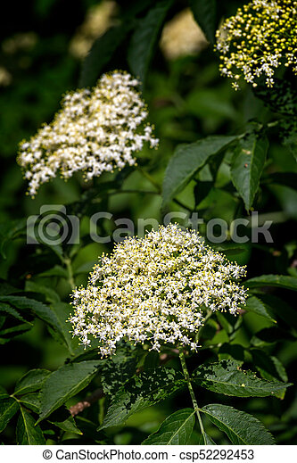 White flowers on the elder bush sambucus nigra in spring stock white flowers on the elder bush sambucus nigra in spring csp52292453 mightylinksfo