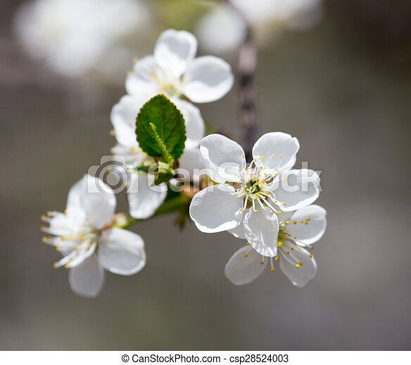 white flowers on the tree in nature - csp28524003