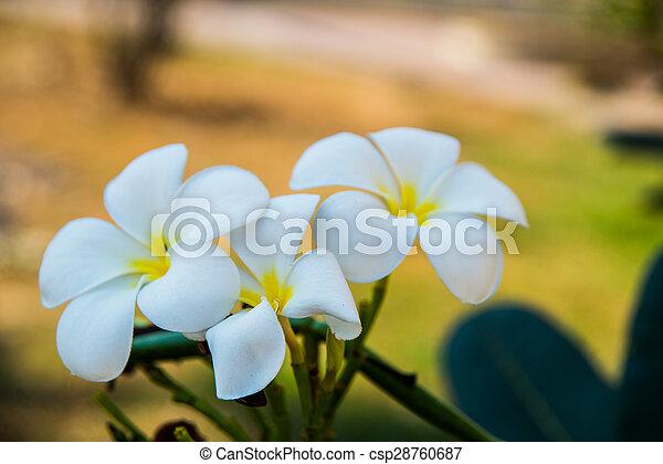 White Flowers With A Yellow Centerumeria Very Beautiful Flowers