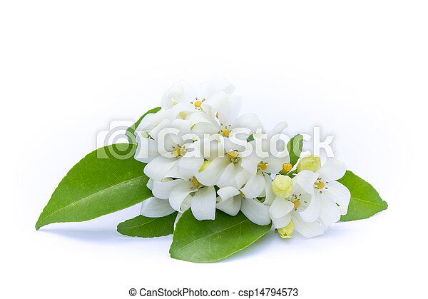 White flowers with green leaves on a white background. - csp14794573