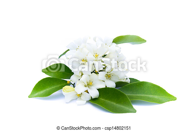White flowers with green leaves on a white background. - csp14802151