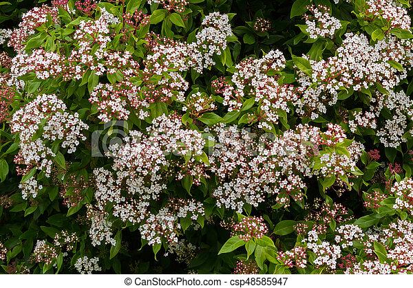 Small white flowers with pink buds of viburnum tinus stock photo white flowers with pink buds of viburnum tinus blossoming intasmania australia csp48585947 mightylinksfo