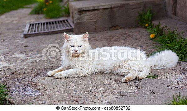 white fluffy cat with blue eyes - csp80852732