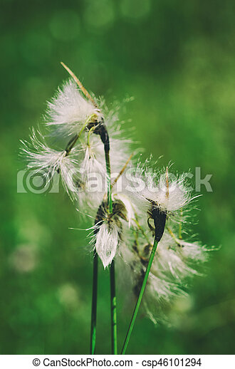 White fluffy flowers on the green meadow natural background white fluffy flowers csp46101294 mightylinksfo