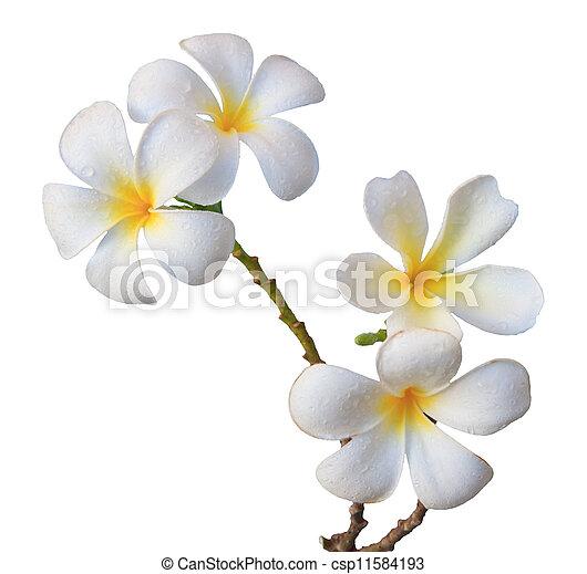 white frangipani flower isolated  - csp11584193