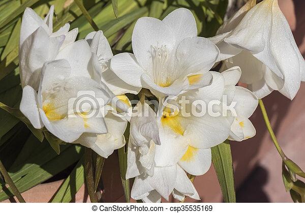White freesia flower stock image search photos and photo clip art white freesia flower csp35535169 mightylinksfo