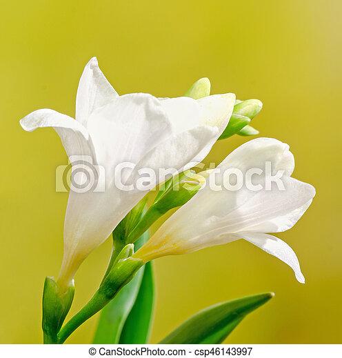 White freesia flowers family iridaceae yellow gradient bokeh white freesia flowers family iridaceae yellow gradient bokeh background close up mightylinksfo