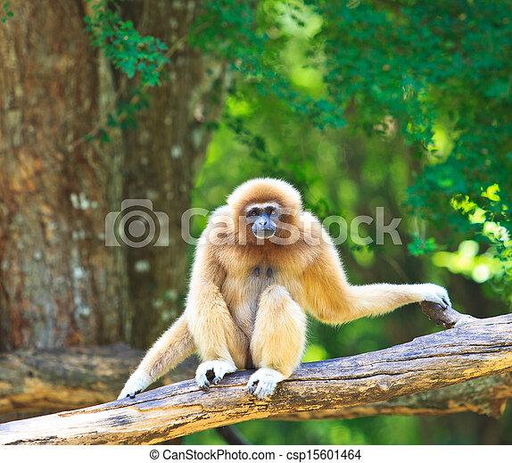 White Gibbon  - csp15601464