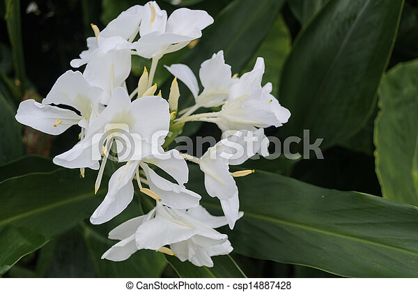 White ginger flower is a fragrant flower white ginger flower csp14887428 mightylinksfo