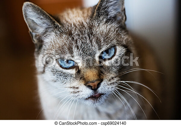 White gray cat with blue eyes, close up portrait - csp69024140