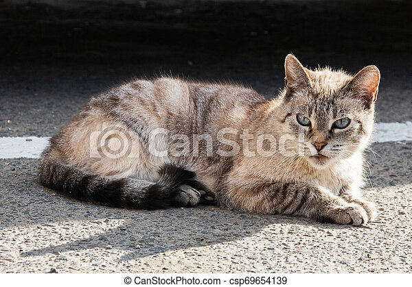 White gray cat with blue eyes, close up - csp69654139
