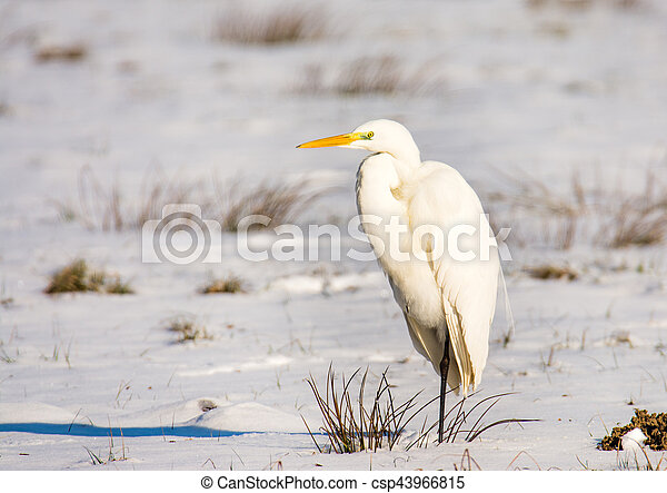 White great egret standing in a snow covered meadow - csp43966815