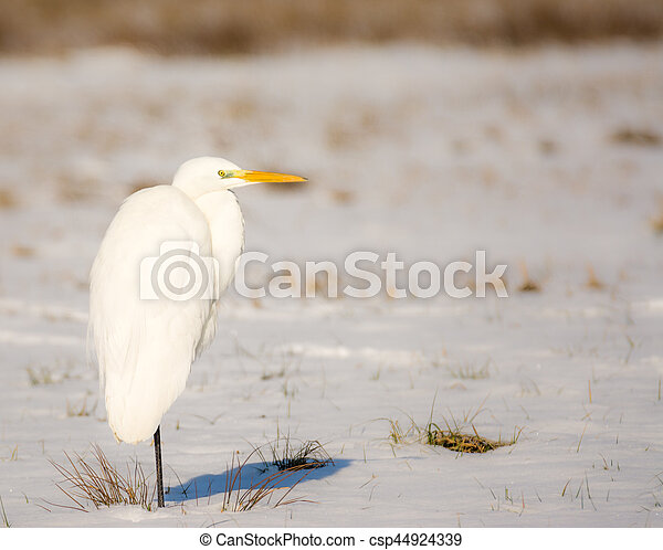White great egret standing in a snow covered meadow - csp44924339