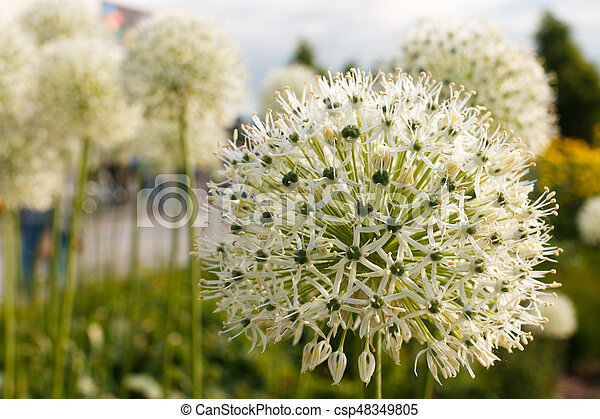 White green ball of a decorative flower a flower in the shape of a white green ball of a decorative flower a flower in the shape of a sphere on a green background beautiful white allium circular globe shaped flowers blow mightylinksfo