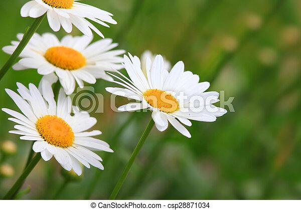 White Heath Aster - csp28871034