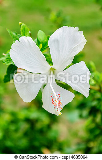 White Hibiscus Flowers On The Tree
