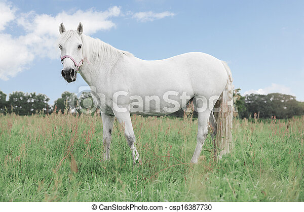 White horse looking - csp16387730